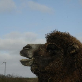 Bactrian camel - Paul Stainthorp