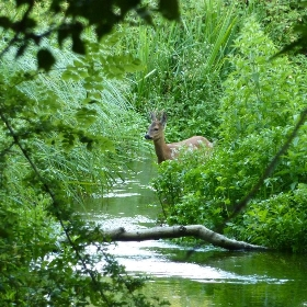 Roe deer in stream 1a - Dluogs