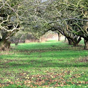 The Old Apple Orchard, Wisbech St. Mary - scrumpyboy