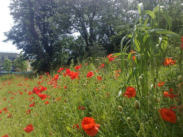 Poppies in a field, Kent 2
