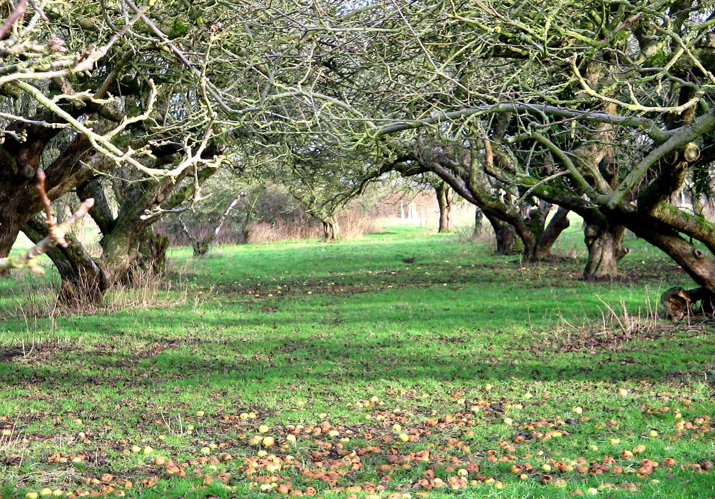 The Old Apple Orchard, Wisbech St. Mary